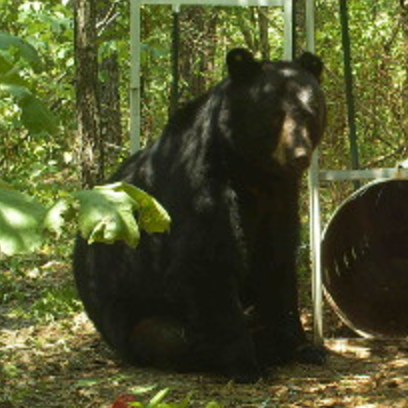 Missouri Black Bear 2